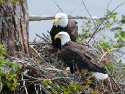 Bald Eagles: The Birds Are Back in the 'Burgh